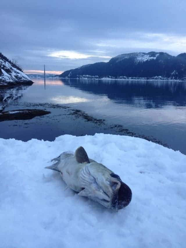 Vinterfisk I Skarnsundet